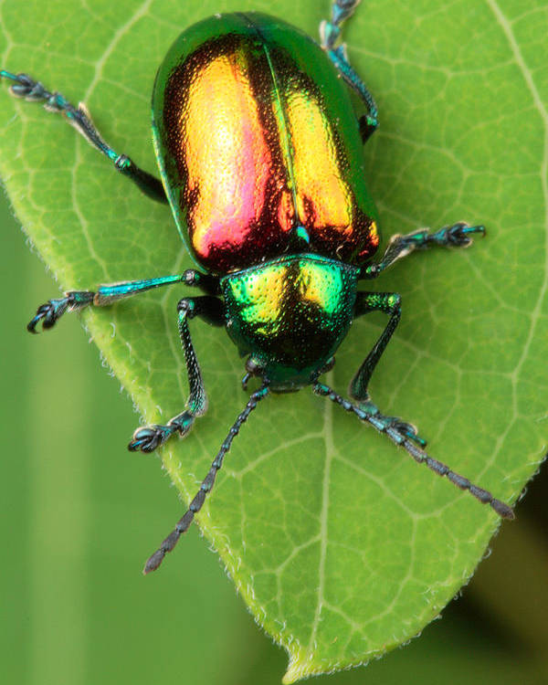 Animals Poster featuring the photograph A Dogbane Leaf Beetle, by George Grall