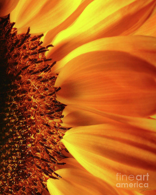Sunflower Poster featuring the photograph A God Thing-1 by Shevon Johnson