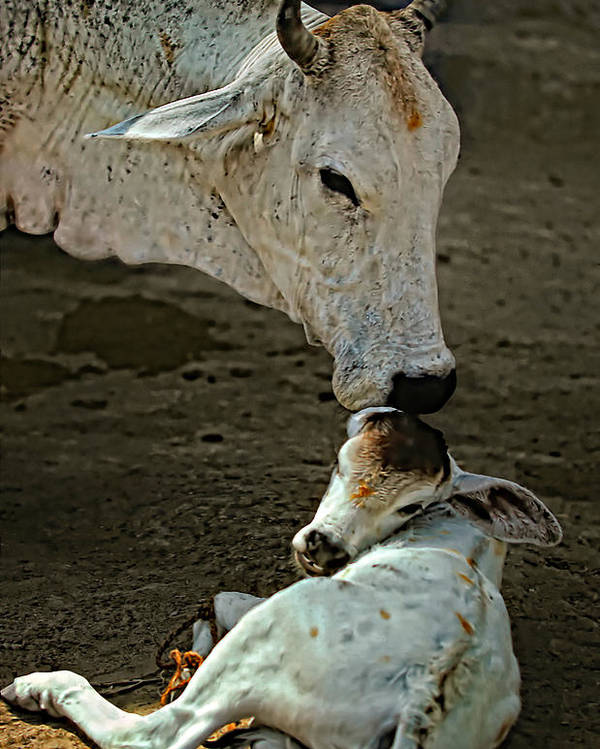 Cow Poster featuring the photograph A Mother's Love by Steve Harrington