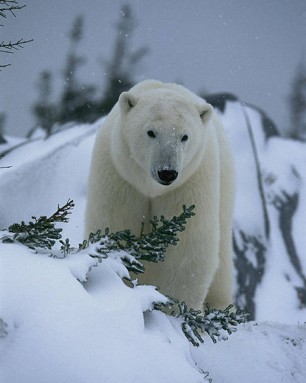 North America Poster featuring the photograph A Polar Bear In A Snowy, Twilit by Norbert Rosing