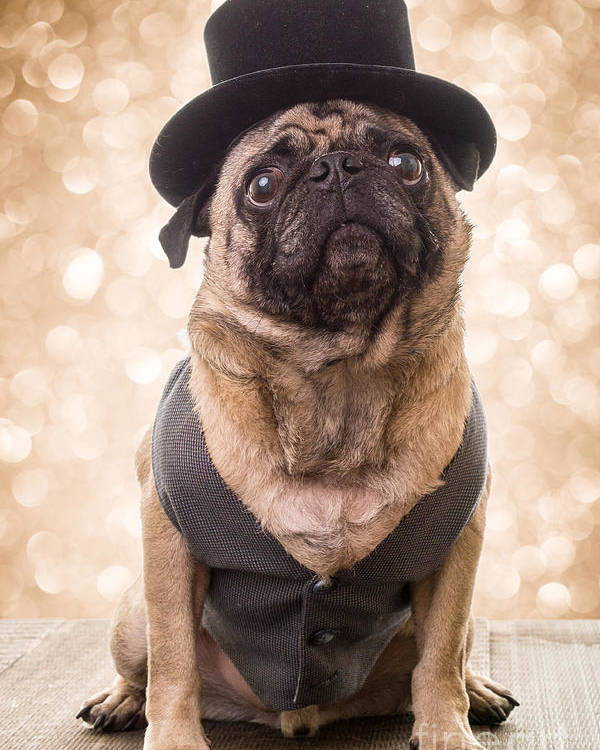 Pug Poster featuring the photograph A Star Is Born - Dog Groom by Edward Fielding