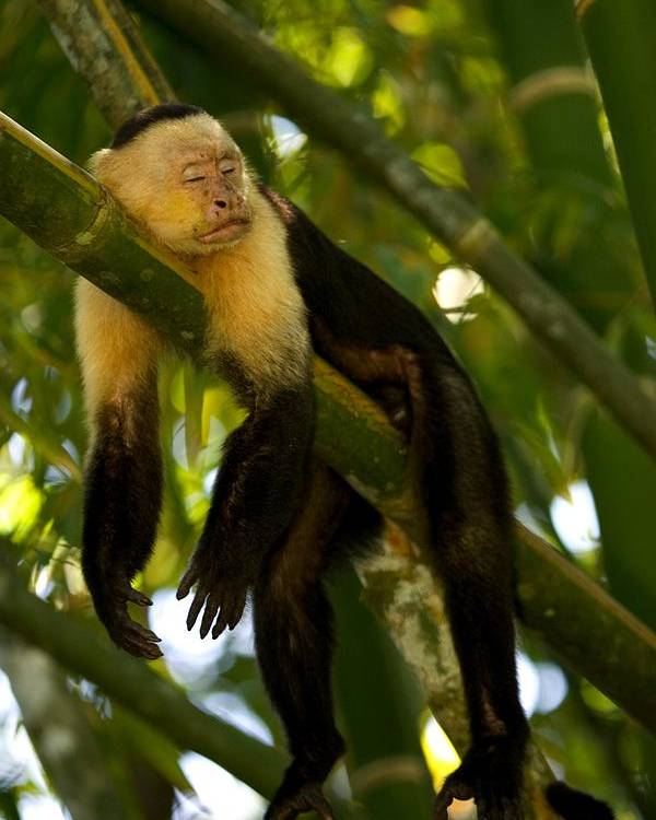 Central America Poster featuring the photograph A White-throated Capuchin Monkey by Roy Toft