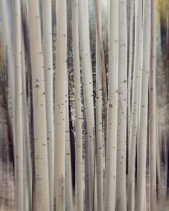 Abstract Poster featuring the photograph Abstract Aspen Tree Trunks by Susan Westervelt