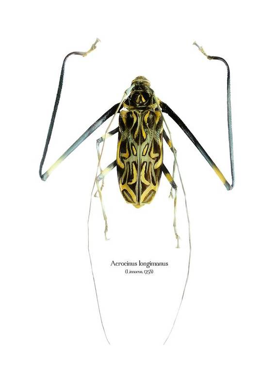 Nature Poster featuring the digital art Acrocinus II by Geronimo Martin Alonso