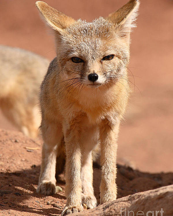 Fox Poster featuring the photograph Adult Kit Fox Ears And All by Max Allen