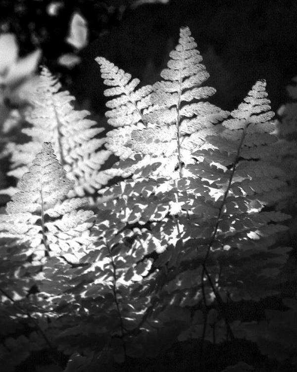 Fern Poster featuring the photograph After Glow by Randy Oberg