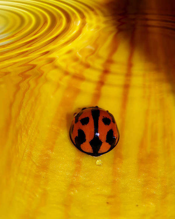 Ladybeetle Poster featuring the photograph After The Rain by Lesley Smitheringale