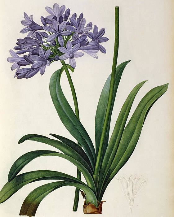 Agapanthus Poster featuring the painting Agapanthus Umbrellatus by Pierre Redoute