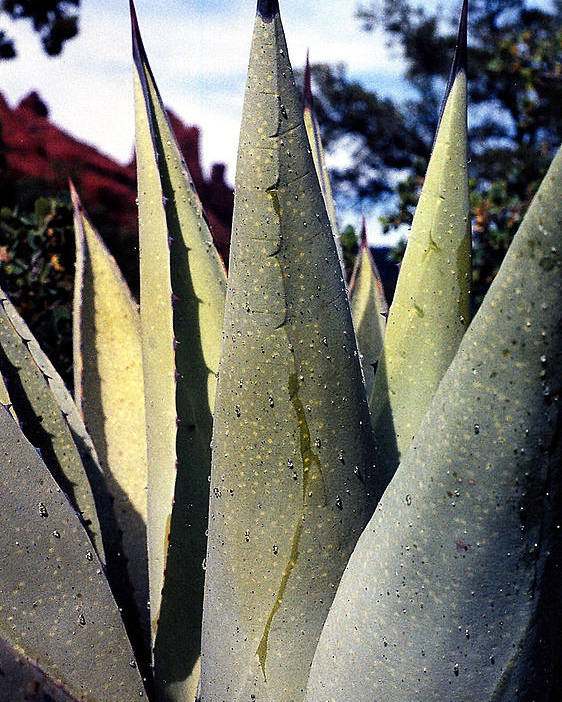 Agave Poster featuring the photograph Agave by Heather S Huston