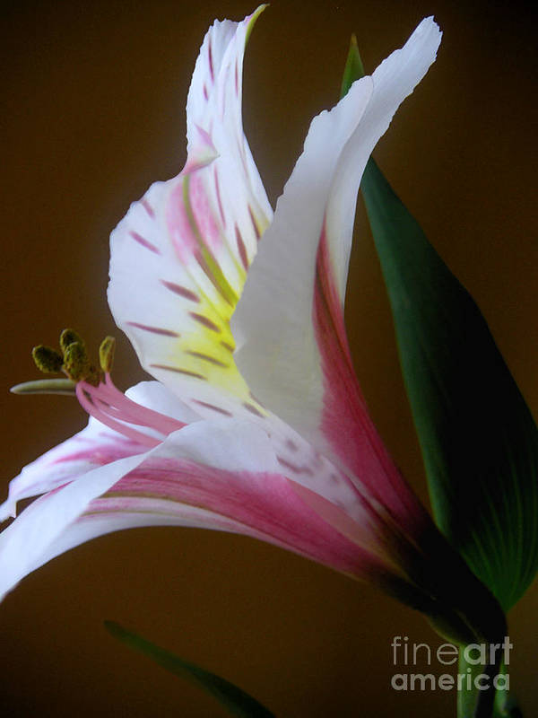 Nature Poster featuring the photograph Alstroemeria - Responding by Lucyna A M Green