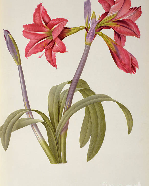 Amaryllis Poster featuring the drawing Amaryllis Brasiliensis by Pierre Redoute