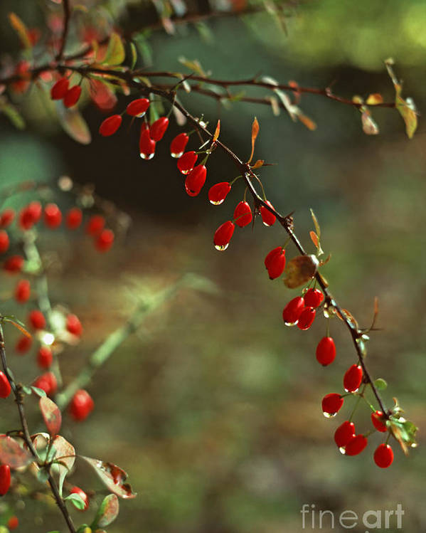 Pennsylvania Poster featuring the photograph American Barberry With Raindrops by Anna Lisa Yoder