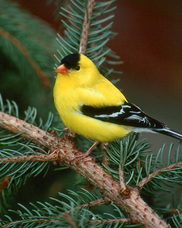Bird Poster featuring the photograph American Goldfinch by Raju Alagawadi
