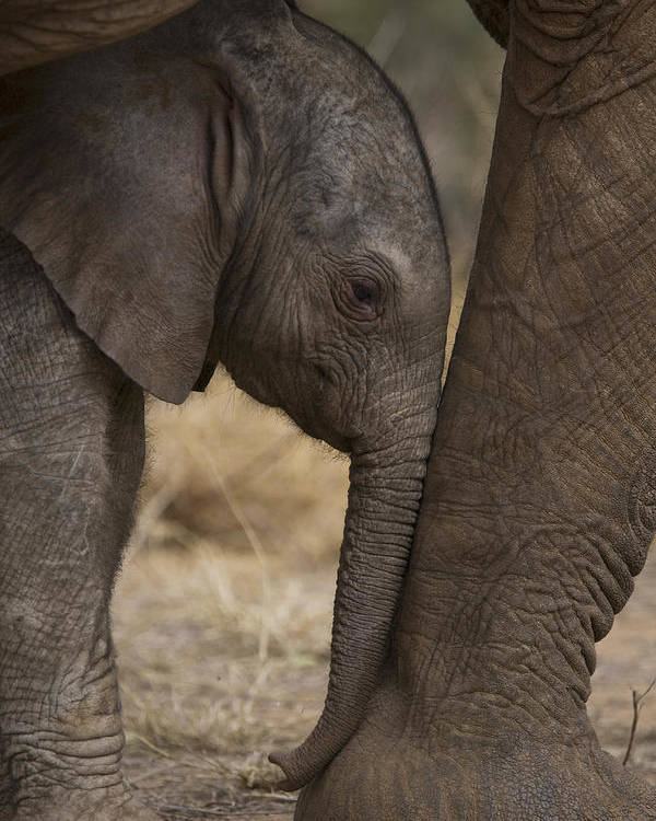 Outdoors Poster featuring the photograph An Elephant Calf Finds Shelter Amid by Michael Nichols