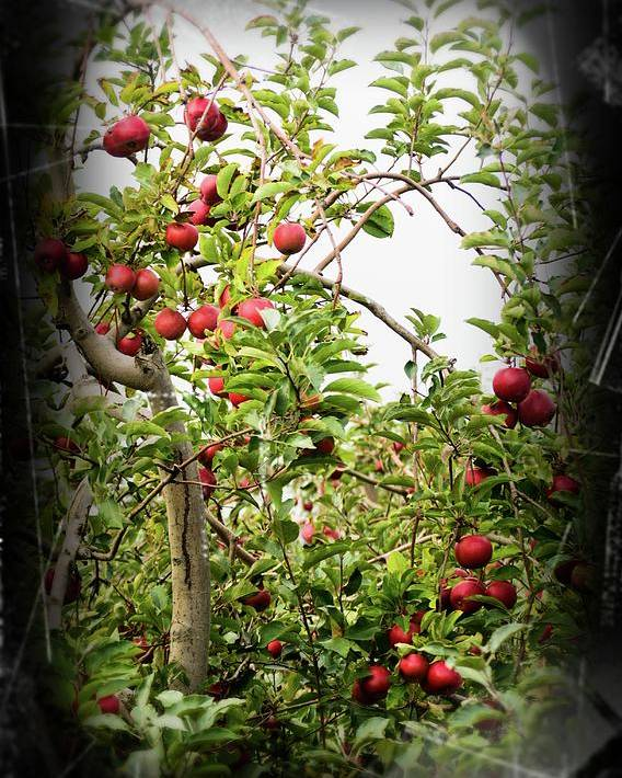 Apple Tree Poster featuring the photograph An Old Apple Tree by Randy J Heath