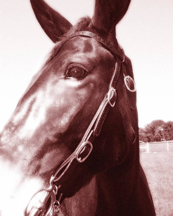 Mule Poster featuring the photograph and Fancy was her name by Sabrina Long