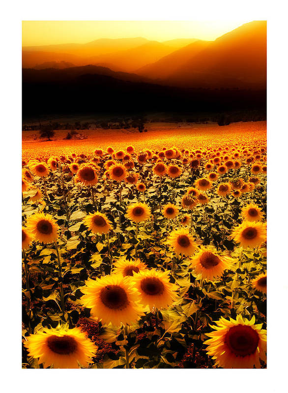 Sunflowers Poster featuring the photograph Andalucian Suns by Mal Bray