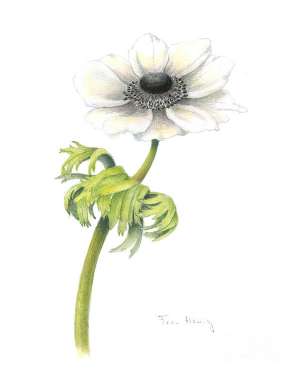 Botanical Art Poster featuring the painting Anemone by Fran Henig