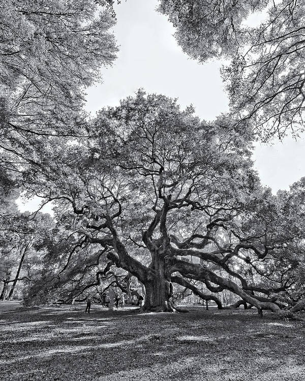 Trees Poster featuring the photograph Angel Oak by Dave Stegmeir