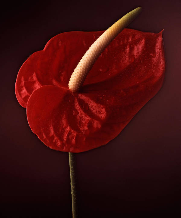 Still Life Poster featuring the photograph Anthurium by Joseph Gerges