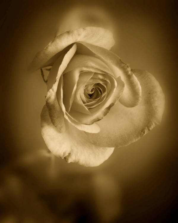 Rose Poster featuring the photograph Antique Soft Rose by M K Miller