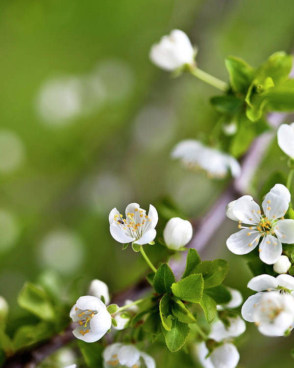 Apple Poster featuring the photograph Apple Blossoms by Nailia Schwarz