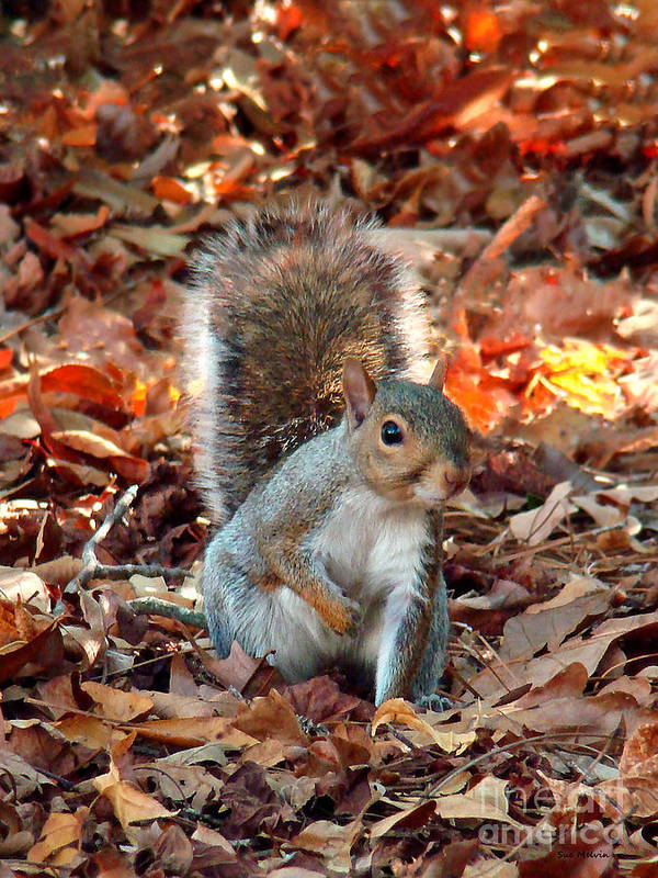 Squirrel Poster featuring the photograph Are You Friendly by Sue Melvin