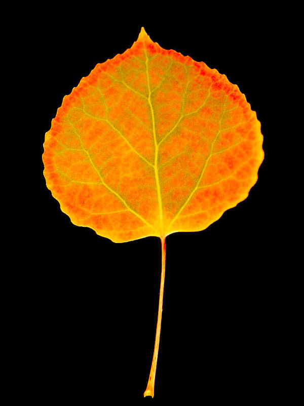 Leaf Poster featuring the photograph Aspen Leaf by Marilyn Hunt