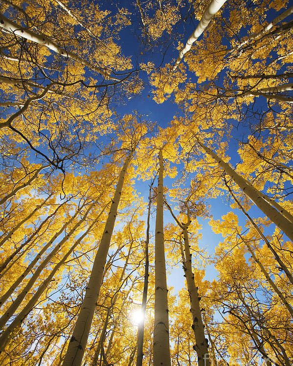 Aspen Poster featuring the photograph Aspen Tree Canopy 3 by Ron Dahlquist - Printscapes