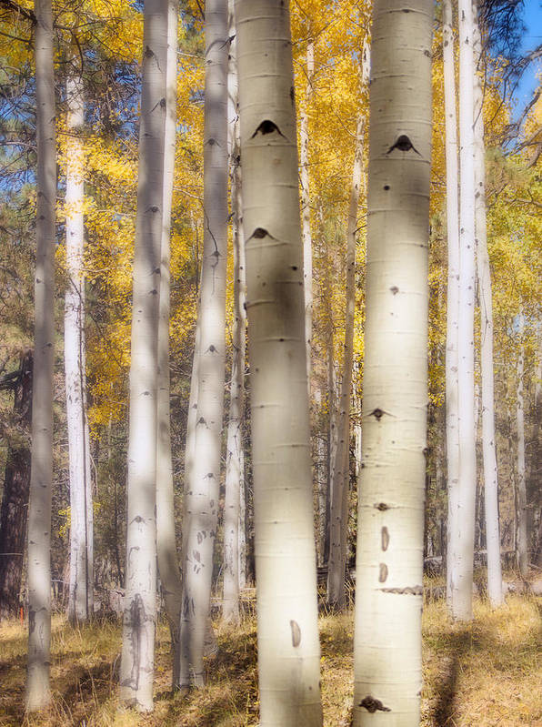 Aspen Poster featuring the photograph Aspen Trunks by Susan Westervelt