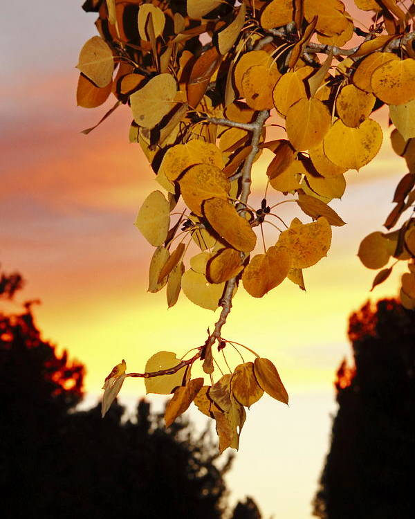 Aspens Poster featuring the photograph Aspens At Sunset by Diane Zucker