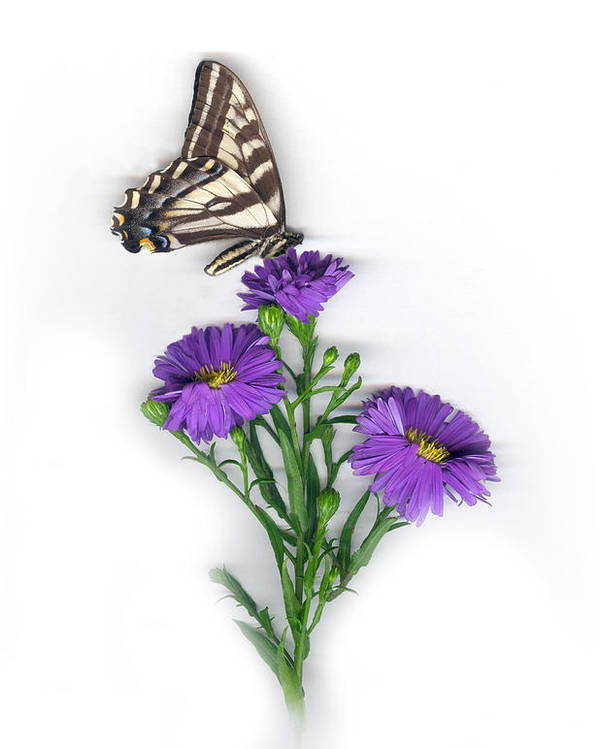 Aster Flower Poster featuring the mixed media Aster And Butterfly by Sandi F Hutchins