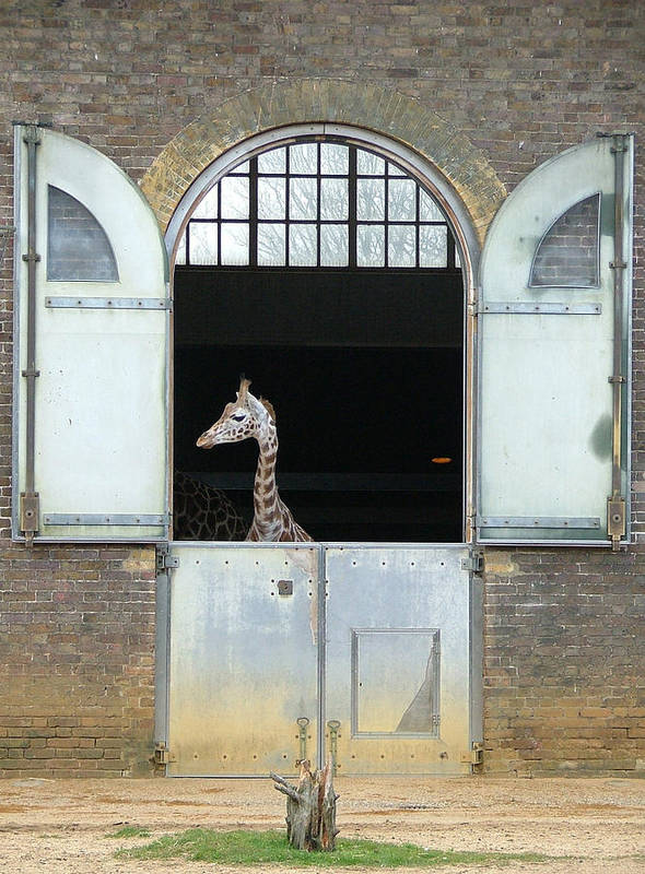 Giraffe Poster featuring the photograph Asymmetrical Giraffe by Heather Lennox
