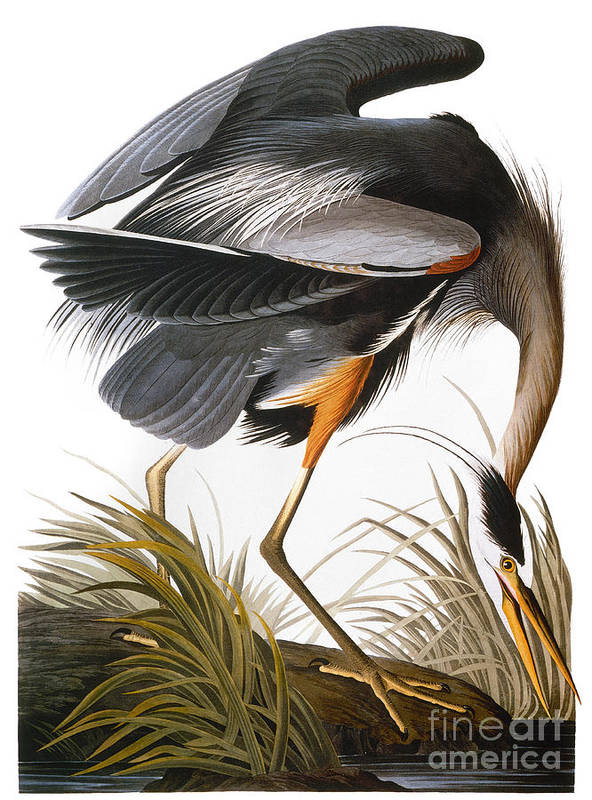 1838 Poster featuring the photograph Audubon: Heron by Granger