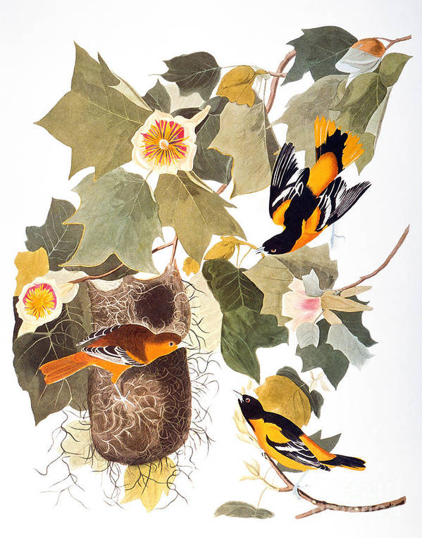1838 Poster featuring the photograph Audubon: Oriole by Granger