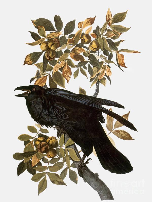 1838 Poster featuring the photograph Audubon: Raven by Granger
