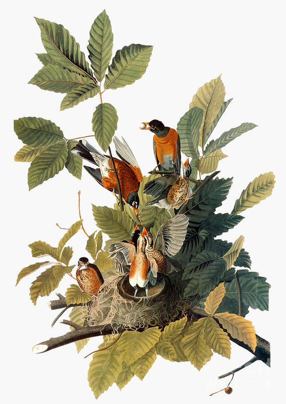 1838 Poster featuring the photograph Audubon: Robin by Granger