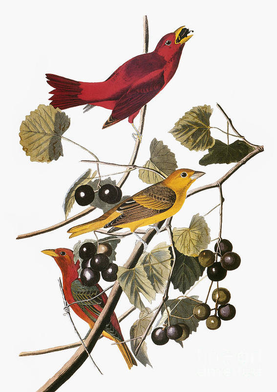 1838 Poster featuring the photograph Audubon: Tanager by Granger