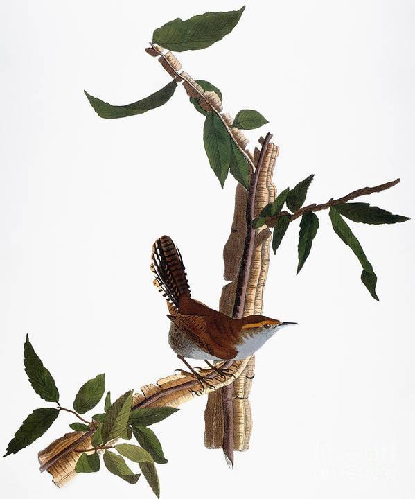 1827 Poster featuring the photograph Audubon: Wren, (1827-38) by Granger