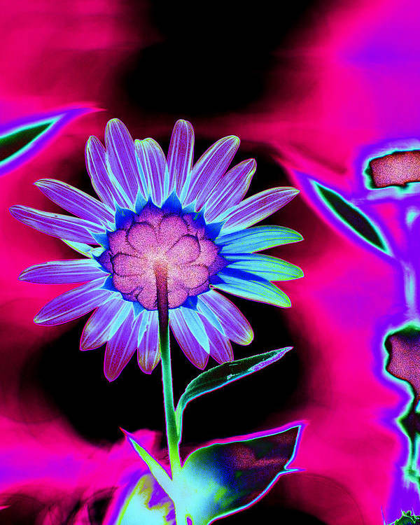 Flower Poster featuring the photograph Aurora Daisy by Richard Henne