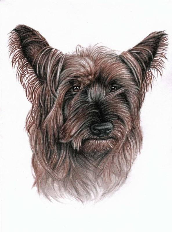 Dog Poster featuring the drawing Australian Terrier by Nicole Zeug