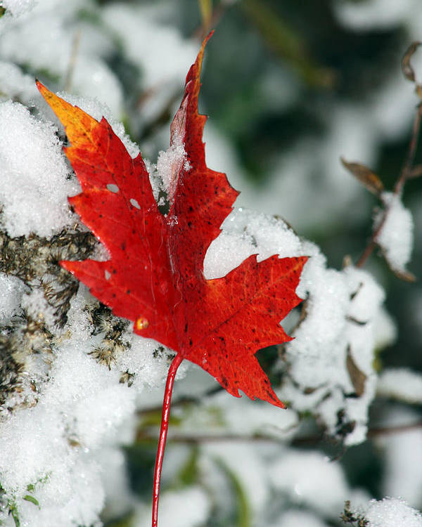 Autumn Poster featuring the photograph Autumn Meets Winter by Cathy Beharriell