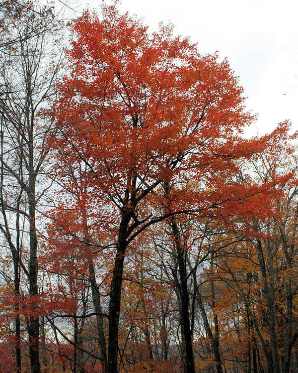 Trees Poster featuring the photograph Autumn Orange by Carolyn Postelwait