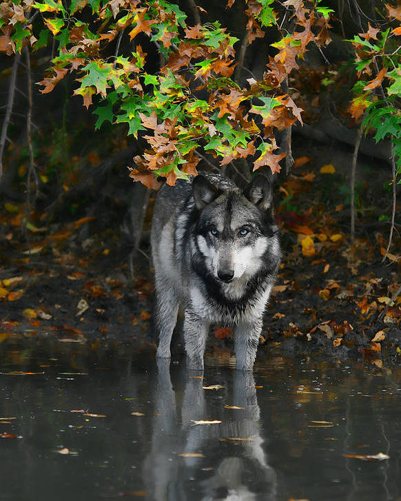Wolf Wolves Lupine Canis Lupus Wildlife Animal Photography Photograph Poster featuring the photograph Autumn Wolf by Shari Jardina