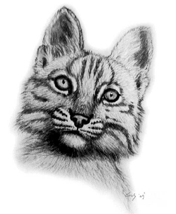 Baby Bobcat Poster featuring the drawing Baby Bobcat by Nick Gustafson