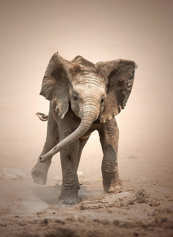 Elephant Poster featuring the photograph Baby Elephant Mock Charging by Johan Swanepoel