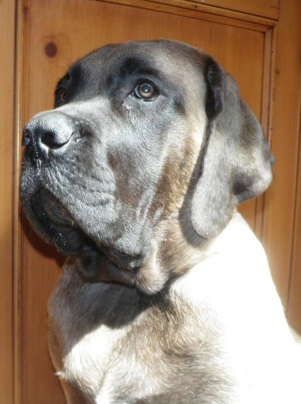 Mastiff Poster featuring the photograph Baby by Lora DePietro