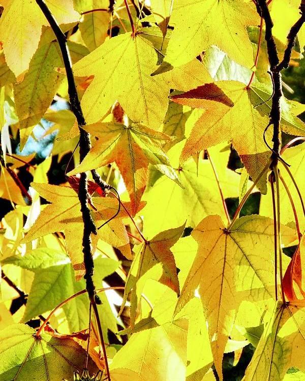 Liquidambar Poster featuring the photograph Backlit Liquidambar Leaves by Kirsten Giving
