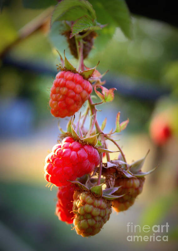 Food And Beverage Poster featuring the photograph Backyard Garden Series - The Freshest Raspberries by Carol Groenen