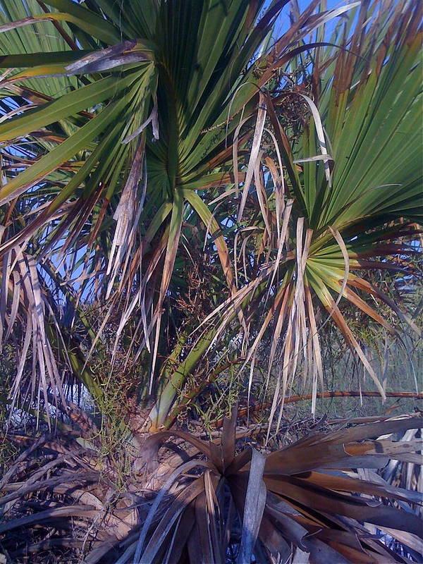 Palms Poster featuring the photograph Backyard Palm by Jan Bennicoff